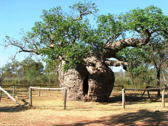 Boab-Prison-Tree