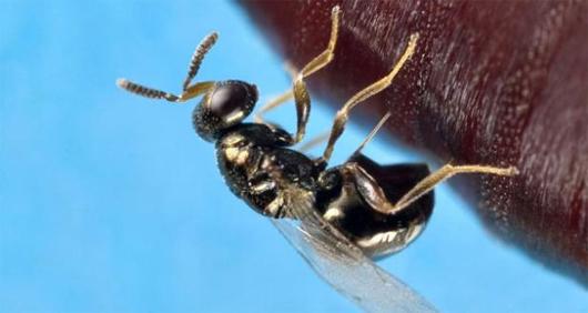 voodoo-wasp