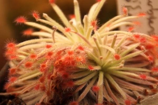 The Wooly Sundew (Drosera derbyensis)
