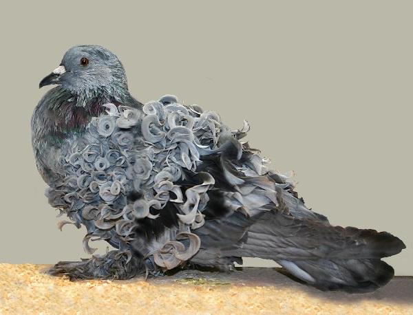 Frillback Pigeon (Columba livia)