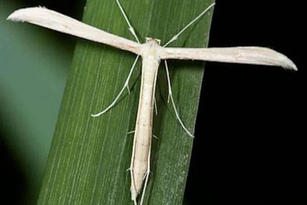 Plume Moth (Pterophorus pentadactyla)