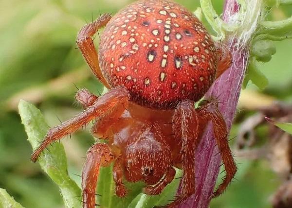 The Strawberry Spider (Araneus alsine)