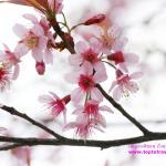 Sakura606