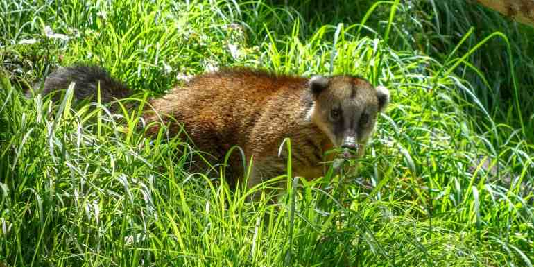 Coati in the Cocora Valley, Colombia