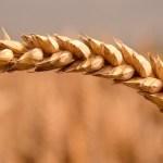 Top 5 najzdravijih i najpopularnijih žitarica na našim prostorima
