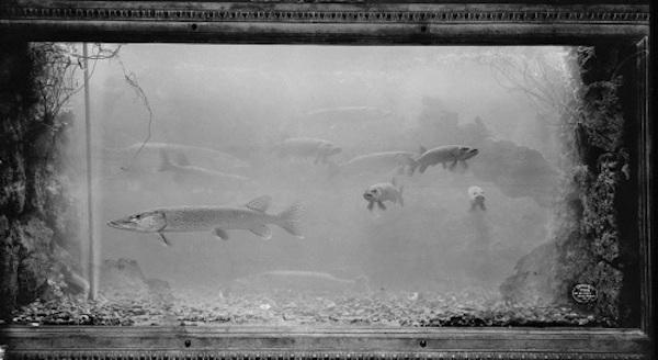 belle-isle-aquarium_pike