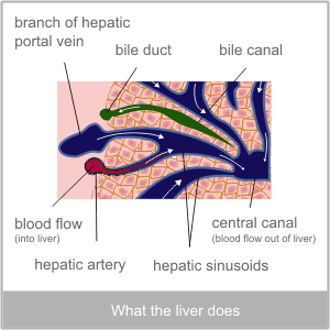 What the liver does. Western diagnosis of the liver by The Torbay Acupuncture Centre