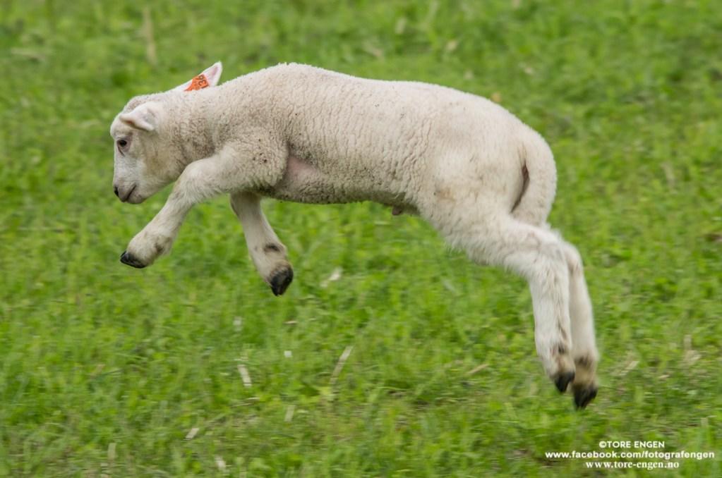 Bilde av et lam som hopper.