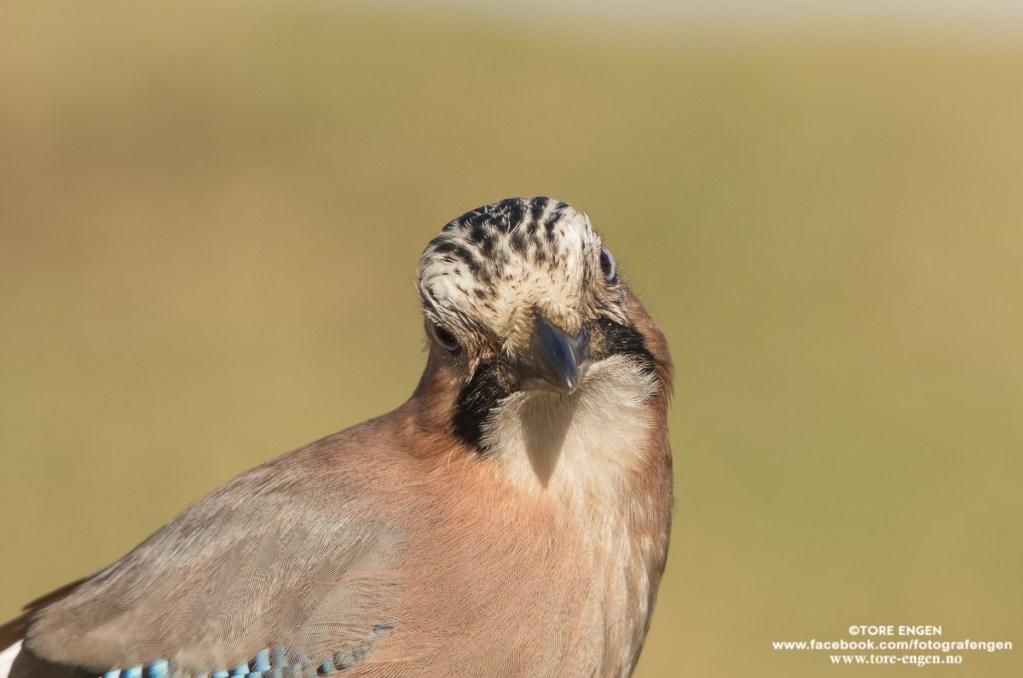 Bilde av en nøtteskrike (fugl) med et artig uttrykk.