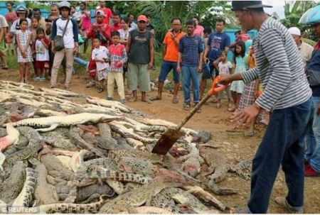 Over 200 Crocodiles Killed In Indonesia By Villagers (Photos)