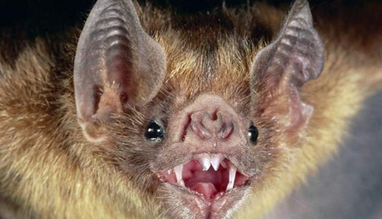 Tornquist – Preocupación por el hallazgo de un murciélago con rabia
