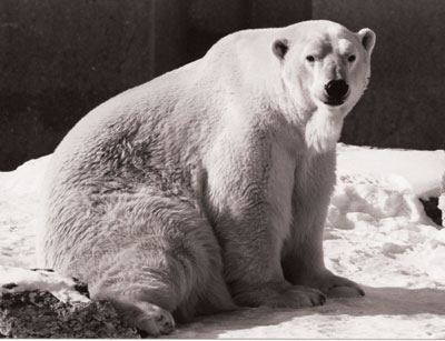 Councillor Glenn De Baeremaeker says at the pace the Zoo Foundation was raising funds for new initiatives, the polar bears would be all dead.