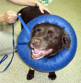 Shimmer, a Toronto Police Service bomb dog, recovers at Morningside Animal Clinic after undergoing surgery on her back right knee.