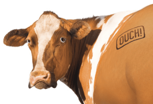Branded_Cow-OUCH