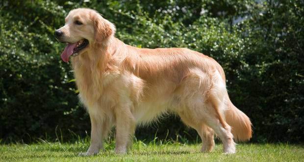 Golden Retriever Breed Standard - Side View of a Golden Retriever