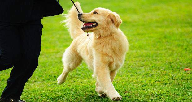 why training your golden retriever is so important - a GR being trained to walk on a leash