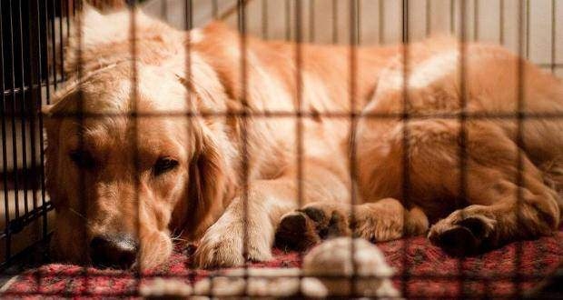 The Benefits of Crate Training A Dog Or Puppy - A GR sleeping in a crate