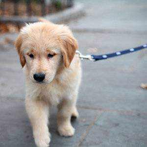 Golden Retriever puppy on a leash