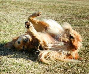 A golden retriever showing submissive body language