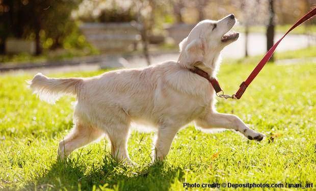 A Golden Retriever obedience training