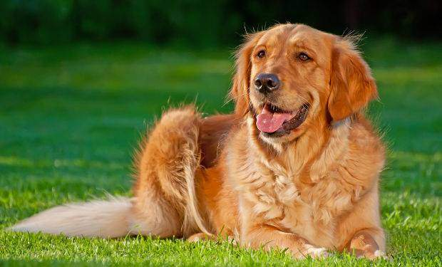 How to train a golden retriever to lie down - A red golden lying on grass