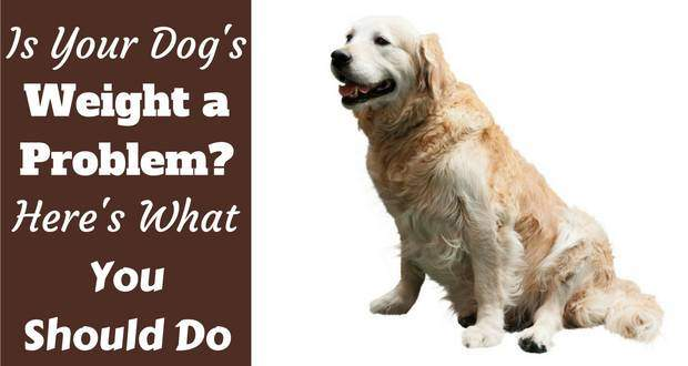 Obesity In Golden Retrievers Healthy Weight Managment Totally