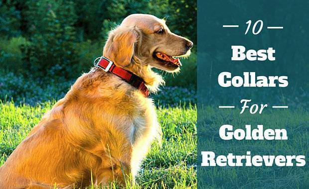 Best collars for golden retrievers written beside side view of GR in red collar sitting on grass
