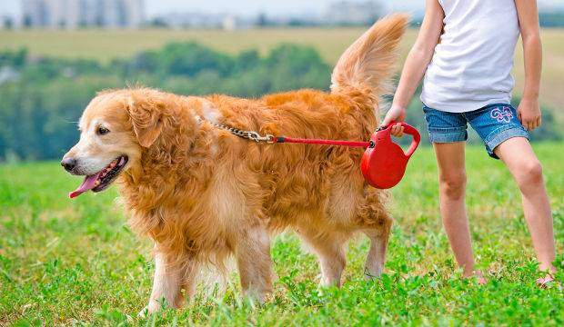 Young girl holding a golden retriever on a leash