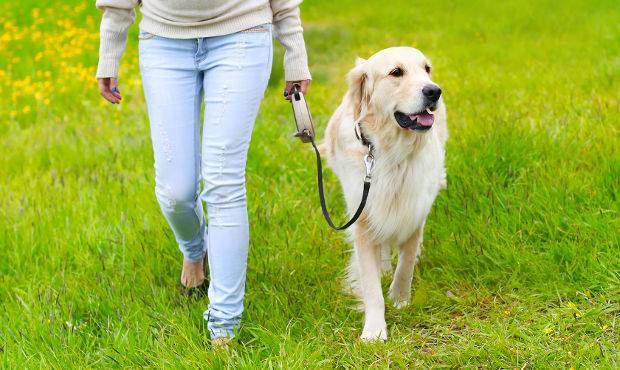 Golden retriever walking on a loose leash next to a lady
