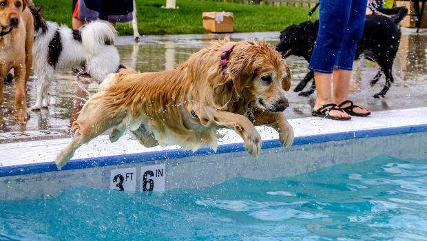 Golden retriever mid-flight jumping into a swimming pool