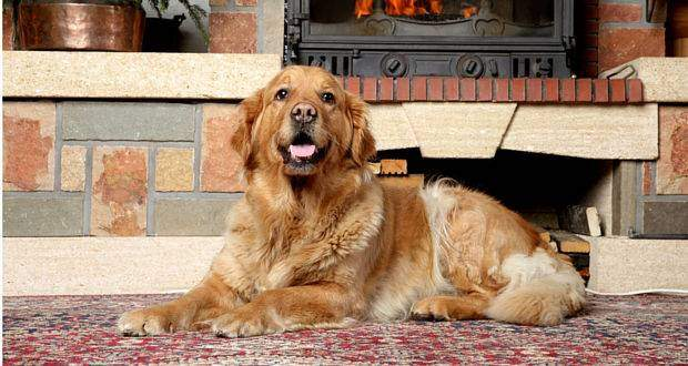 A dark golden retriever lying in front of a fireplace
