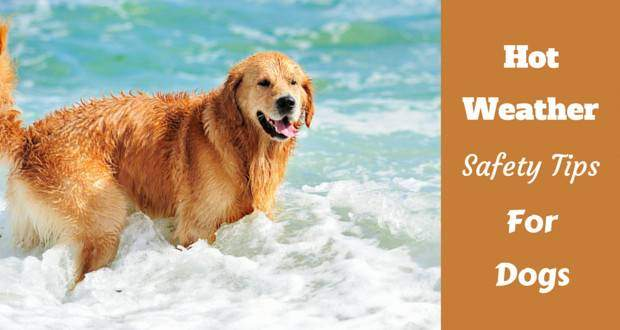 A golden retriever standing in the surf on a beach