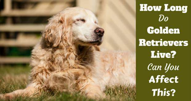 How Long Can A Dog Live With Lymphoma