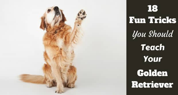Golden retriever raising their paw, waving, as a fun trick