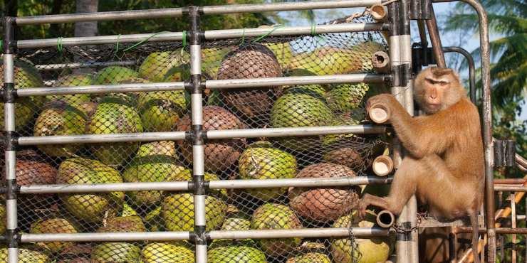 PATA, Monkeys, Coconuts Thailand
