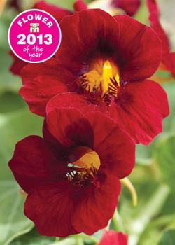 Nasturtium 'Crimson Emperor' - Flower of the Year 2013