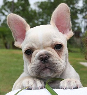 McShane bought a French bulldog from new Wildcats team-mate Danny Kirmond. ©FrenchieFever