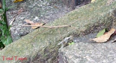 Stick insect at Xiangshan