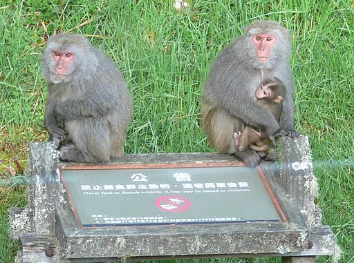 Taiwanese macaques