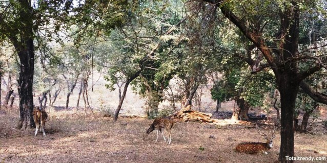 Ceylon spotted deer