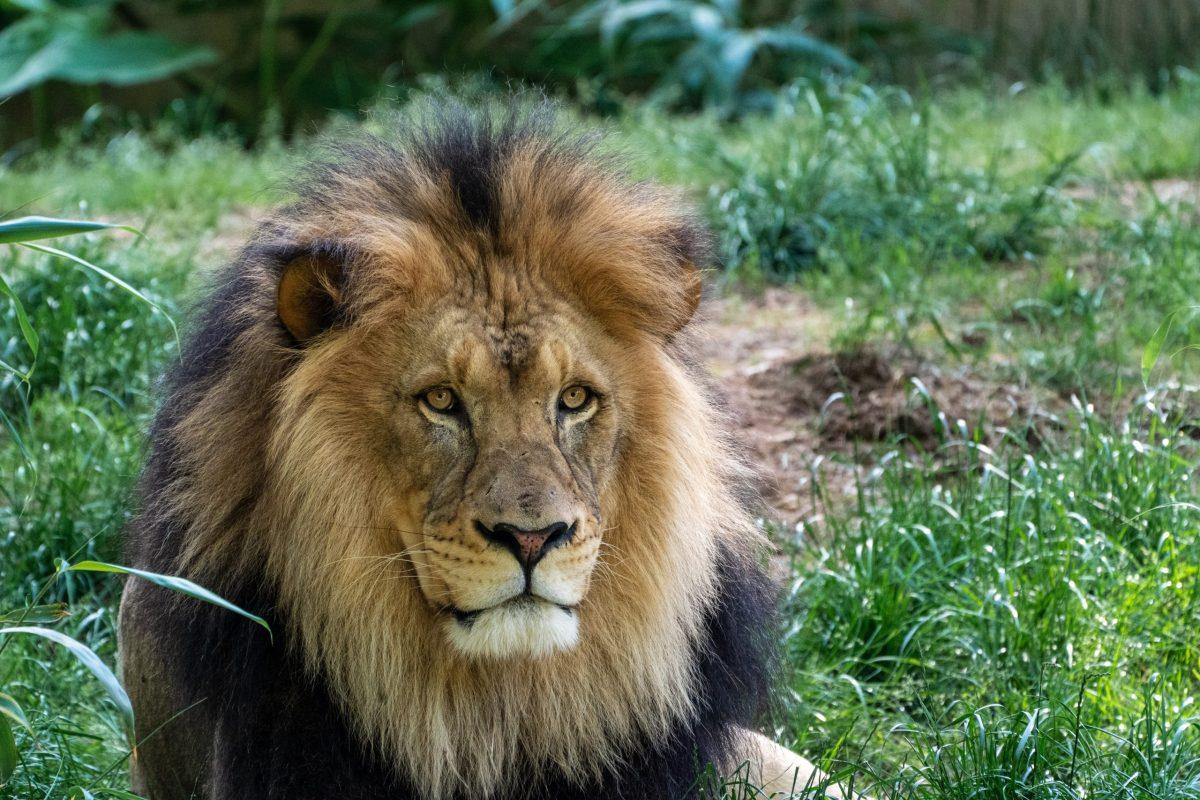טוטם אריה - תמונה של אריה