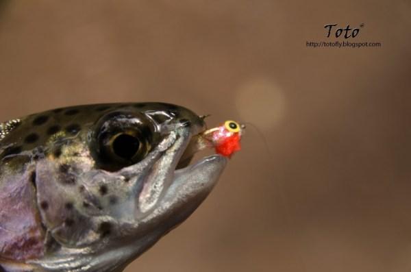 Piscicultura Río Blanco - Baby trout 1