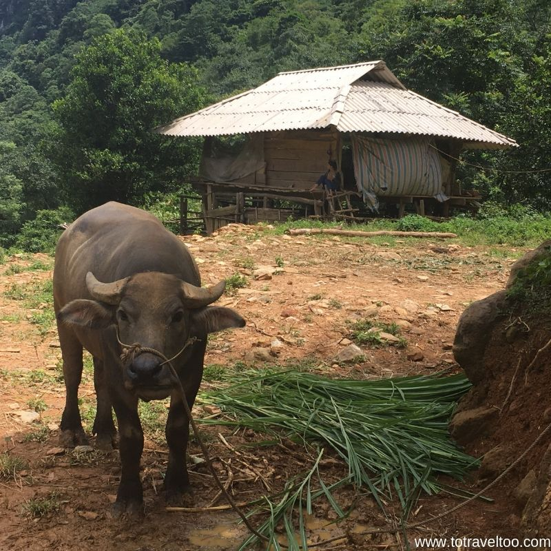 Buffalos are worth 45,000,000 dong in Vietnam - guide to Mai Chau Vietnam