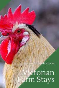 Victorian Farm Stay - roosters