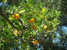 Orangenfrüchte überall an den Hängen von Hearst Castle