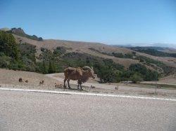 Steinbockartige Tiere stehen am Straßenrand und begrüßen die Gäste von Hearst Castle im San Simeon State Park