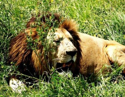 Ein Löwe genießt die Sonne in Tansania, Afrika