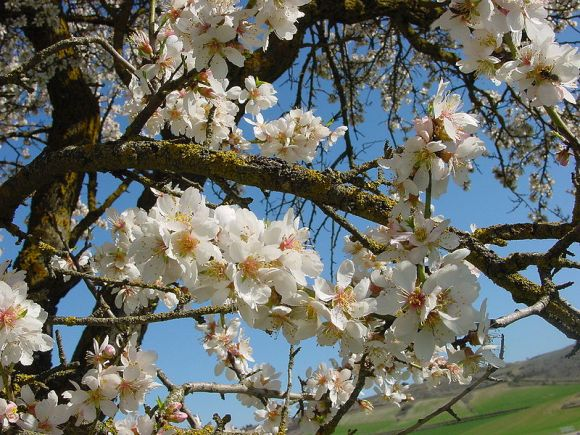 Tu B'Shvat - blooming almond tree from wikicommons