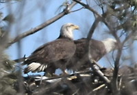 Bald Eagles at their Cootes Paradise Nest cropped