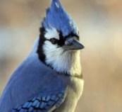 Bluejay, Burlington Wildlife